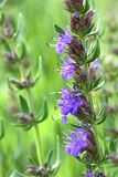 Hyssopus officinalis Stock Photo