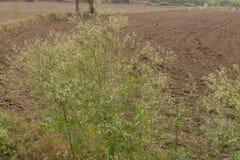 Hysterophorus del Parthenium o erba della carota un'erbaccia nel campo Fotografia Stock