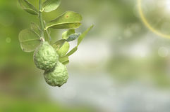 Hystrix do citrino Fotografia de Stock