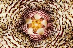 Hystrix varietà di Huernia hystrix Immagini Stock Libere da Diritti