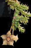 Hystrix varietà di Huernia hystrix Fotografie Stock