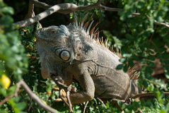I'm Watching You. A large iguana in a tree in Roatan, Honduras Stock Images