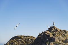 Iść na piechotę frajer Berlenga wyspa Fotografia Royalty Free