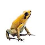 Iść na piechotę jad żaba na bielu Zdjęcie Stock