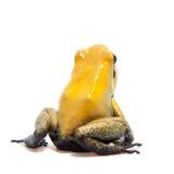 Iść na piechotę jad żaba na bielu Obrazy Stock
