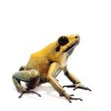 Iść na piechotę jad żaba na bielu Obraz Stock