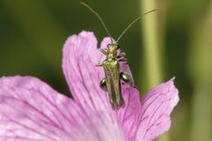iść na piechotę kwiat ścigi Oedemera nobilis zdjęcie royalty free
