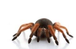 iść na piechotę meksykańska czerwona tarantula Obrazy Stock
