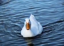 Iść out dla pływania Zdjęcie Royalty Free