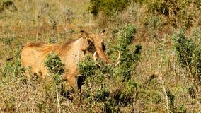 IŚĆ - Phacochoerus africanus pospolity warthog Zdjęcie Stock