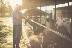 I admire my success. Senior man on his farm with animals. Copy space royalty free stock photography