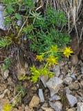 I aizoides della sassifraga dei fiori dell'erba della sassifraga di montagna gialla si sviluppano Fotografia Stock