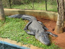 I alligator resting. It is resting in a place who care Royalty Free Stock Image
