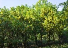 I anagyroides di maggiociondolo comune ingialliscono il parco dell'albero della pianta del fiore della molla della pioggia dorata Fotografia Stock