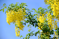 I anagyroides dorati sboccianti Medik di maggiociondolo della doccia Contro lo sfondo del cielo Fotografia Stock