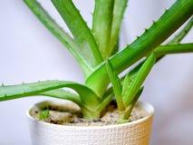 I arborescens conservati in vaso dell'aloe si chiudono su Immagine Stock