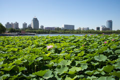 I Asien parkerar kines, Peking, lotusblommadammet, lotusblommadammet, modern arkitektur Arkivbilder
