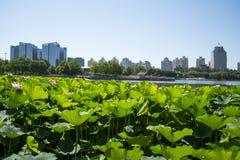 I Asien parkerar kines, Peking, lotusblommadammet, lotusblommadammet, modern arkitektur Fotografering för Bildbyråer