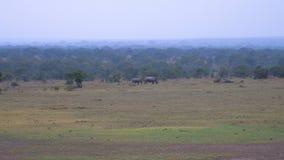 I avstånd är den sällsynta vita noshörningmodern med behandla som ett barn Kenyan Reserve Arkivfoton