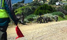 I babbuini protetti sul modo a capo indicano Fotografia Stock