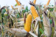 I baccelli del cereale sulle piante secche che aspettano il raccolto, cereale pota Immagini Stock