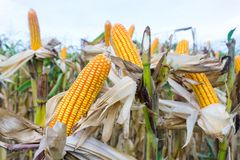 I baccelli del cereale sulle piante secche che aspettano il raccolto, cereale pota su drie Fotografia Stock Libera da Diritti