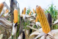 I baccelli del cereale sulle piante secche che aspettano il raccolto, cereale pota su drie Immagini Stock