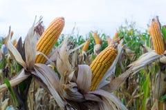 I baccelli del cereale sulle piante secche che aspettano il raccolto, cereale pota su drie Immagine Stock Libera da Diritti