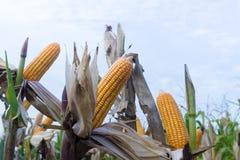 I baccelli del cereale sulle piante secche che aspettano il raccolto, cereale pota su drie Fotografie Stock Libere da Diritti