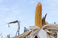 I baccelli del cereale sulle piante secche che aspettano il raccolto, cereale pota su drie Immagine Stock