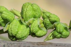 I baccelli del seme o le teste verdi non aperti di un laxa di fresia fioriscono Fotografie Stock Libere da Diritti
