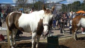 I bambini e gli adulti ammirano i purosangue durante i cavalli pubblici di festival della città nel parco Kaivopuisto archivi video