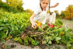 I bambini sul raccolto delle patate immagini stock