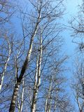 I bei alberi e il ¼ blu ŒI dello skyï gradiscono immagini stock