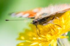I bei alveari della farfalla riunisce il nettare da un fiore del dente di leone immagini stock libere da diritti