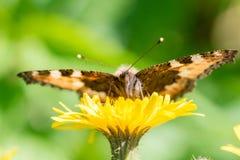 I bei alveari della farfalla riunisce il nettare da un fiore del dente di leone fotografia stock