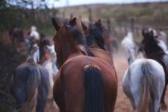 I bei cavalli camminano in natura nel tramonto fotografia stock libera da diritti