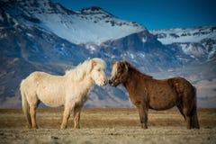 I bei cavalli durante le adulazioni fotografia stock libera da diritti