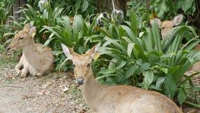 I bei cervi si siedono in cespugli verdi Passi i cervi in kheo di khao dello zoo, Pattaya, Tailandia video d archivio