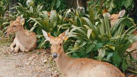 I bei cervi si siedono in cespugli verdi Passi i cervi in kheo di khao dello zoo, Pattaya, Tailandia archivi video