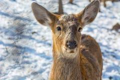I bei cervi su neve atterrano, giovani alti sguardi dei cervi noi Immagini Stock