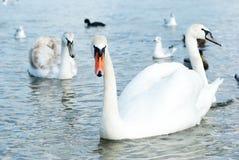 I bei cigni, anatre e gabbiani selvaggi galleggiano vicino al Mar Nero c Fotografia Stock Libera da Diritti