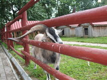 I bei corni casalinghi della capra hanno attaccato nel recinto Fotografie Stock