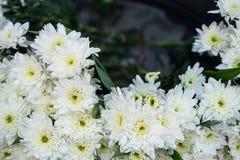 I bei crisantemi di fioritura bianchi puri luminosi freschi fioriscono la priorità alta con il fondo vago delle foglie verdi Fotografie Stock