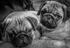 I bei cuccioli del carlino che vi esaminano in bianco e nero rappresentano Immagine Stock Libera da Diritti