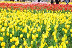 I bei e tulipani eleganti sistemano dopo pioggia fotografia stock