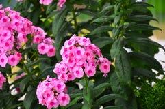 I bei fiori del fiore di Phloxe Fotografia Stock Libera da Diritti