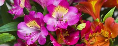 I bei fiori della molla di colore porpora Fotografie Stock Libere da Diritti