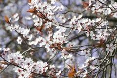 I bei fiori di ciliegia con cielo blu Alberi di fioritura bianchi in primavera Fotografia Stock