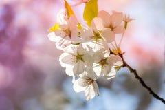 I bei fiori di ciliegia a Hirosaki parcheggiano, Aomori, Tohoku, Giappone in primavera Fotografia Stock Libera da Diritti